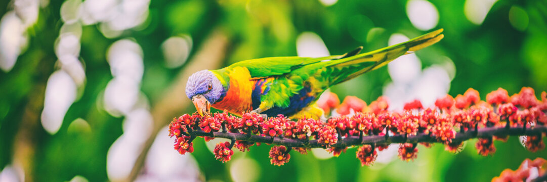 Rainbow lorikeet eating flower buds off tree branch in nature wilderness park in Sydney, Australia panoramic banner. Wild parrot bird animal.