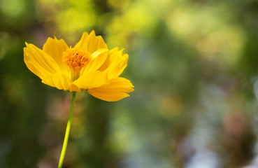 Fond de hotte en verre imprimé Univers yellow cosmos flower blooming with blurred background. selective focus.