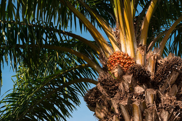 palm tree with fruits on blue sky background green leaves and brown trunk