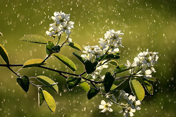 spring background cherry blossoms, beautiful nature blurred background April flowers on a tree