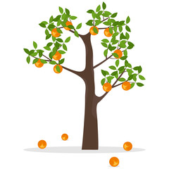 Orange tree, a tree with oranges. Ripe oranges hang on a tree