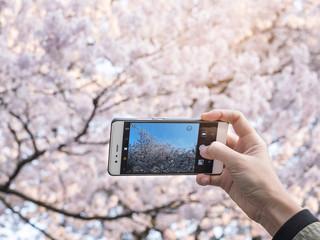 Hand holding Smartphone Take photo Cherry blossom Sakura spring season Japan tourist spot