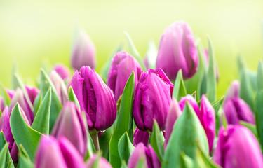 Tulpen bl眉hen im Fr眉hling bei Sonnenschein in einem Park