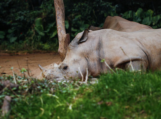 Rhinos in the zoo