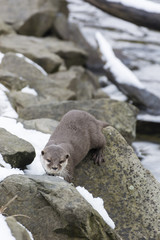 Otter river on stones in winter with snow.