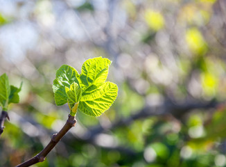 fresh green young leaves on a tree branch in sunlight, beautiful natural spring background