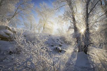 Winter landscape - frosty trees in the snowy forest.