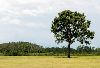 Isolated tree on a grassy field in Florida.
