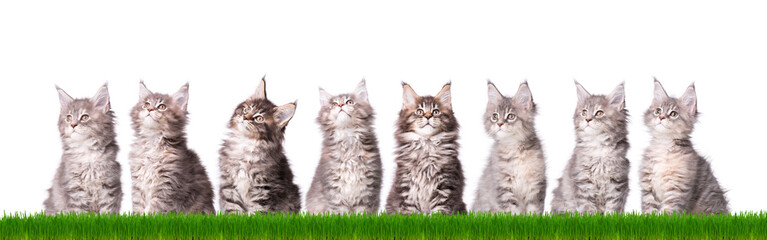 Family group of eight fluffy beautiful Maine Coon kittens in green grass. Cats isolated on white background. Portrait of beautiful domestic kitty.