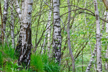 birch tree in countryside