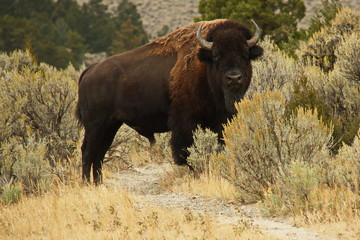 Canvas Prints Bison Bison on Lava Creek Trail at Mammoth Hot Springs in Yellowstone National Park in Wyoming in the USA