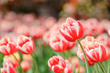 beautiful tulip in a garden in spring time