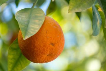 Orange tree with many ripe orange fruits ready to harvest