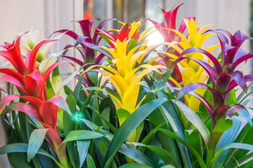 colorful blooming bromelia flowers. Floral background