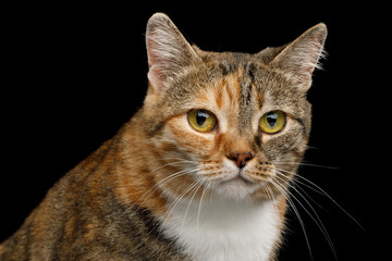 Portrait of Fat Ginger Calico Cat, Looks Sad on Isolated Black Background, front view