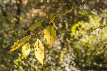 Sunlit yellow leaves on a branch