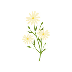 Chamomile plant, natural remedy for cold treatment vector Illustration on a white background