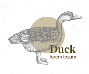 Vector hand drawn duck illustration. Retro engraving style. Sketch farm animal drawing. Duck logo template.