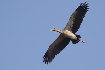 Image of an Asian openbill stork(Anastomus oscitans) flying in the sky. Bird, Wild Animals.