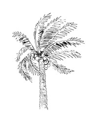 Palm tree sketch, black and white vector illustration.