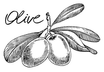 Olive plant. Vector hand drawn graphic illustration.