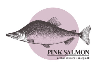 Hand drawn sketch seafood vector vintage illustration of pink salmon fish. Can be use for menu or packaging design. Engraved style. Vintage illustration.