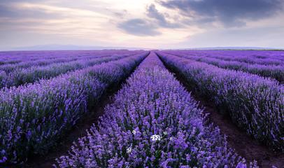 Obraz Lawendowe pola. Piękny obraz pola lawendy - fototapety do salonu