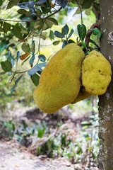 Jackfruit in Vietnamese orchard