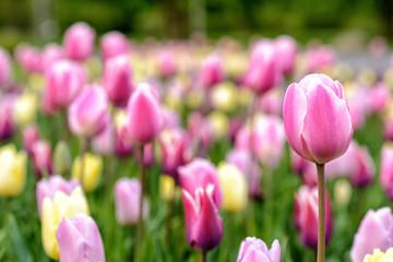 Tulpen im Frühling auf einer Wiese