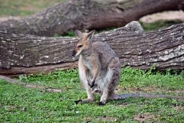 Young cute wild gray wallaby kangaroo