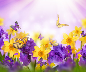 Violet irises, yellow tulips and willow with mimosa on a blurred background. Butterflies on flowers.