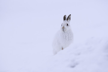 White mountain hare sitting on snow in the cairngorms of Scotland. These are wild mountain and are native to the British Isles.