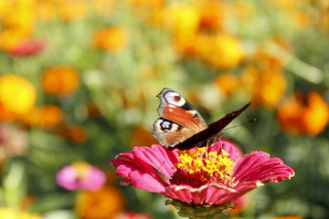 butterfly peacock eye collecting nectar on the zinnia