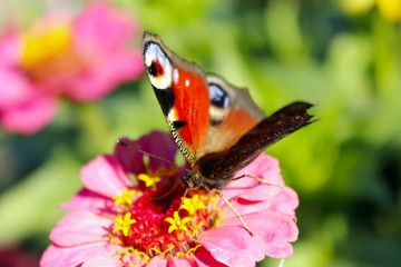 butterfly peacock eye collecting nectar on zinnia. insect on flower