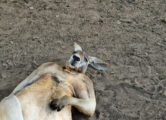 Big so funny wild red kangaroo sleeping on the ground