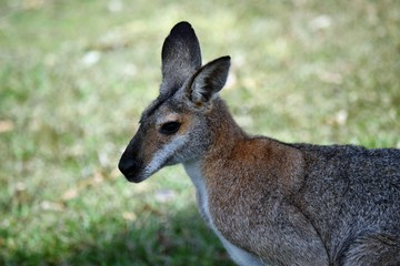 Portrait of young cute wild gray wallaby kangaroo