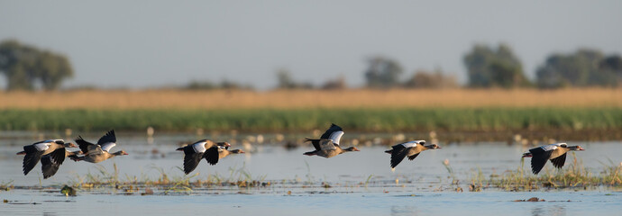 A horizontal, colour panorama photograph of six Egyptian geese, Alopochen aegyptiaca, flying in Chobe National Park, Botswana.
