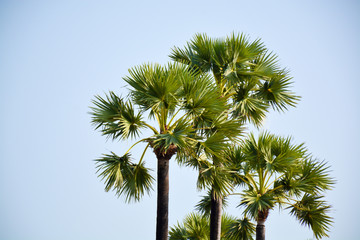 palm tree in Thailand against the sky
