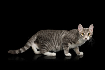 Crouching Tabby Kitten, Standing side view on Isolated Black Background