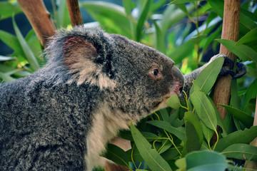 Cute koala eating eucalyptus on a tree branch