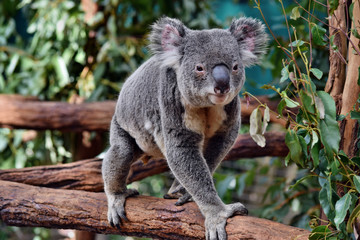 Cute huge koala walking on a tree branch eucalyptus