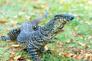 Close-up on a Goanna, large Australian native lizard