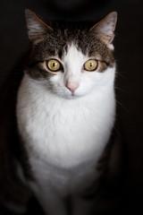 Tabby cat, isolated