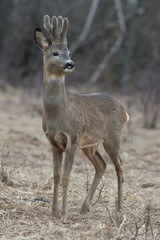 roe, deer, animal, wildlife