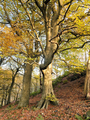 beautiful tall stately autumn beech trees growing on a steep hillside with leaves beginning to turn golden
