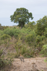 A vertical, distant, colour image of a camouflaged leopard, Panthera pardus, walking in the Greater Kruger Transfrontier Park, South Africa.