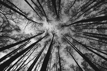 Looking up trees in the woods in black and white