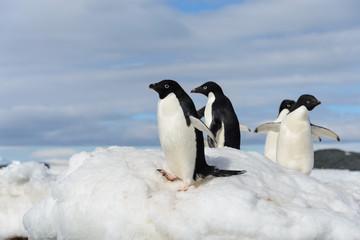 Adelie penguins on snow