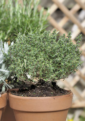 potted thyme in garden