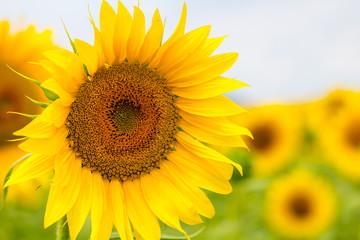 Sunflower field. close up (Helianthus annuus)